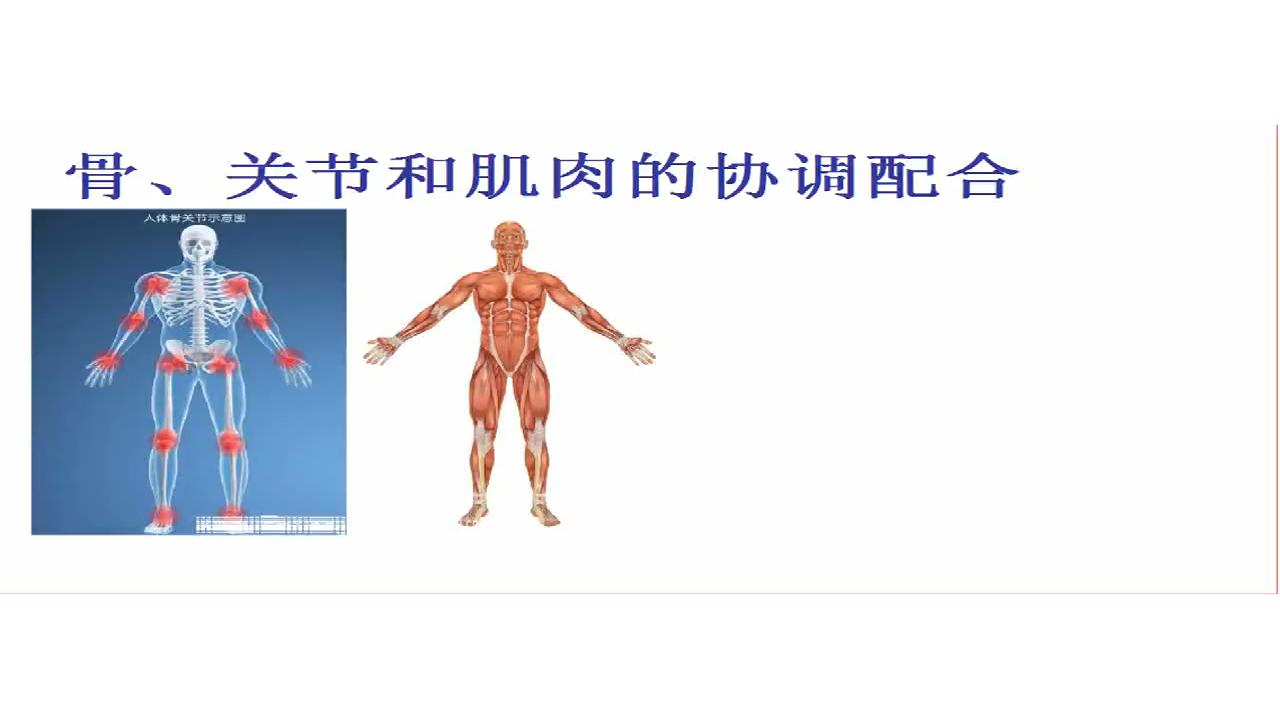骨、关节和肌肉的协调配合